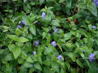 庭の花 アマドコロ他 013 (800x600).jpg