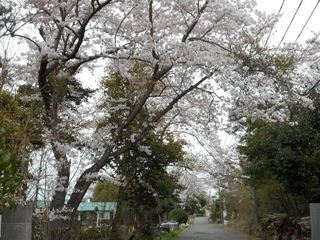 桜満開 004 (800x600).jpg