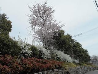 桜満開 009 (800x600).jpg