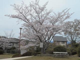 桜満開 011 (800x600).jpg