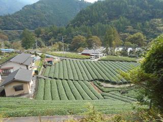 沿線の茶畑.JPG
