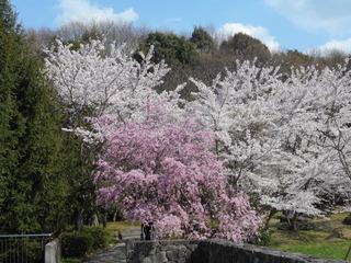 藤原山公園 花見 037.JPG